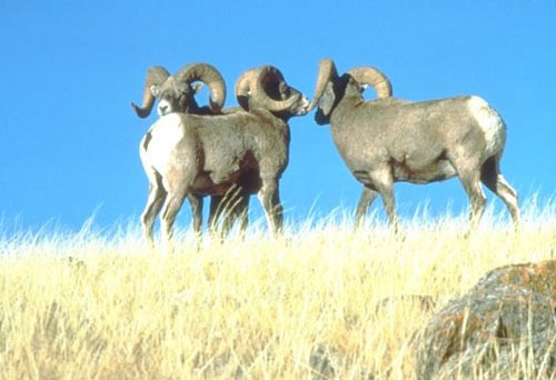 Big Horn Sheep- Badlands South Dakota