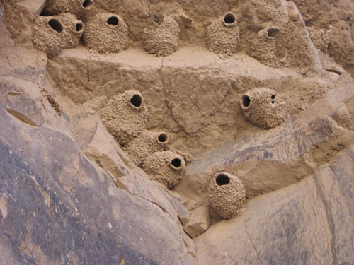 Badlands National Park, fauna, cliff swallows, clay nests