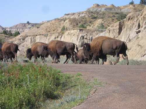 Bison | Buffalo | Badlands National Park