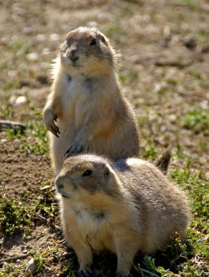 Badlands National Park, Prairie Dogs