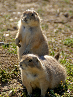 Badlands National Park, Prairie Dogs